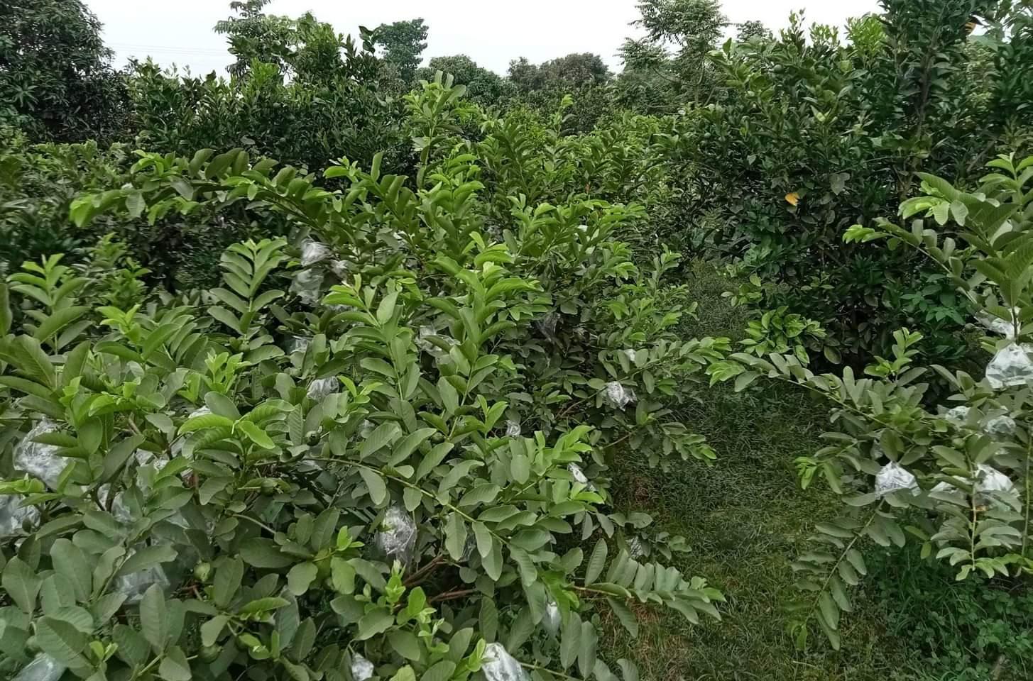 """কুসুমপুরের""""শোভন নার্সারী""""মহেশপুর উপজেলায় জনপ্রিয়তার শীর্ষে"""