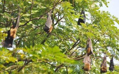 চাঁপাইনবাবগঞ্জের ভোলাহাটে হারিয়ে গেছে বাদুড়